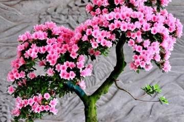 杜鹃花盆景什么时候移栽最好?有3个注意事项