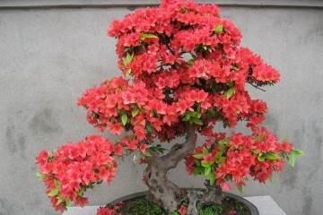 杜鹃花盆景在春季和夏季的3个施肥技巧