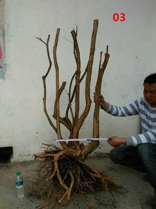 杜鹃下山桩怎么栽活?定根与浇水的技巧