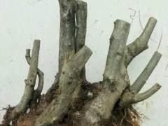 野生杜鹃花下山桩怎么移栽上盆 方法和图片