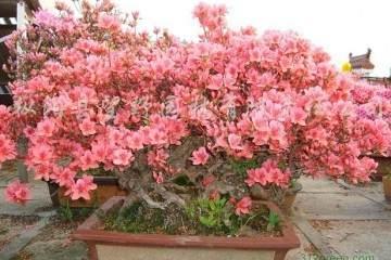 杜鹃花盆景的花语 代表爱的喜悦
