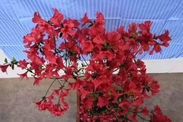 杜鹃盆景怎么发芽修剪 用什么方法 图片