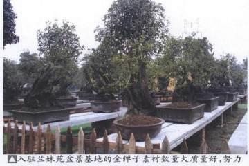 四川拥有极其丰富的金弹子盆景资源