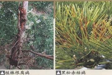 盆景在养护过程中的病虫害防治