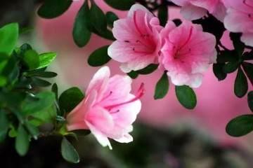 3种具体的繁殖杜鹃花盆景的方法