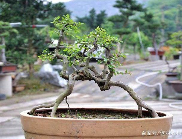 雀梅下山桩多久发芽?生根也不一定发芽?