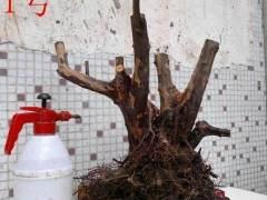 雀梅下山桩多久发芽 为什么生根也不一定发芽