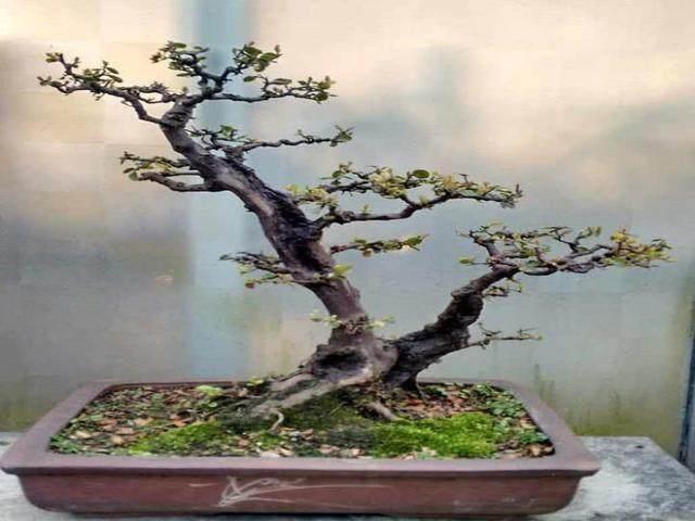 雀梅下山桩放养多久可以移栽上盆?