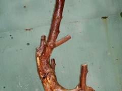雀梅下山桩怎么生根发芽 什么方法提高成活率