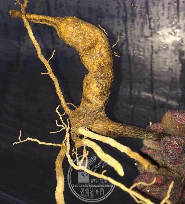 金豆下山桩的6个养护技巧