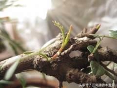 怎么栽培清香木下山桩 发芽季节是什么时候