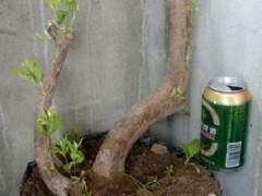 春季下山桩怎样栽发芽最快 实用方法 图片