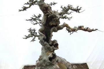 榆树老桩盆景什么时候发芽呢 图片