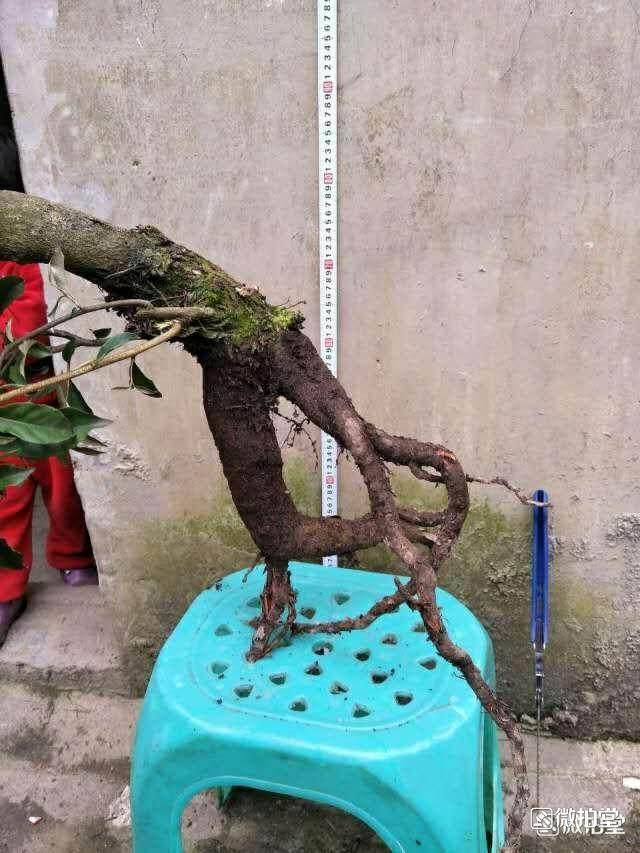 胡秃子下山桩的栽培和养护方法