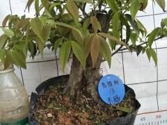 乌饭树下山桩怎么浇水 如何保持土壤湿度