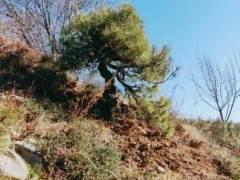 几百买一棵山松下山桩 制作成盆景 价格上万