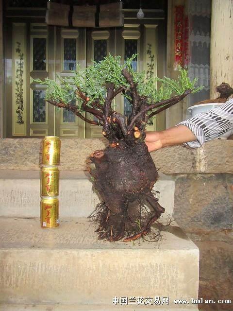 朴树下山桩不发芽 老爸用了这种方法来补救