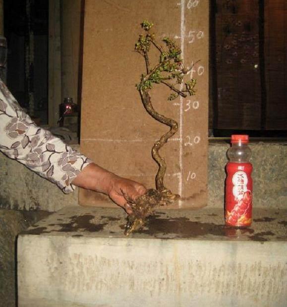 挖回的盆景下山桩假植必须用生根粉吗?