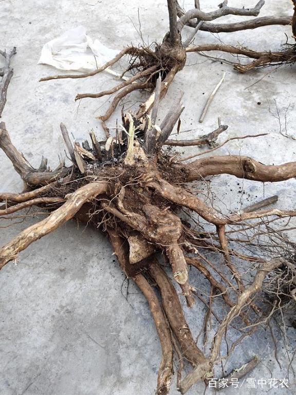 挖掘下山桩的要点和催芽技巧
