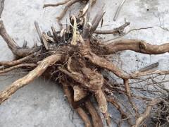 怎么挖掘黄荆下山桩 发芽催芽的方法 图片