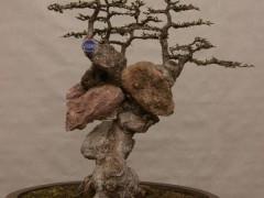 小叶榔榆下山桩回芽后的处理方法 图片