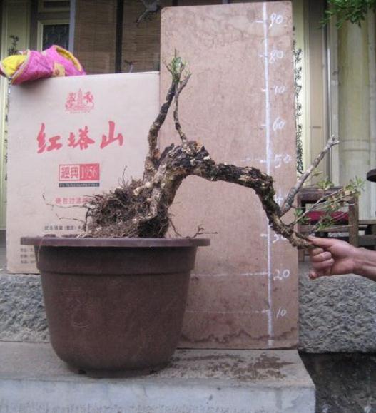 黄杨下山桩如何栽培?如何催芽呢?
