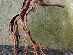 怎么把博兰下山桩做成提根式盆景 图片