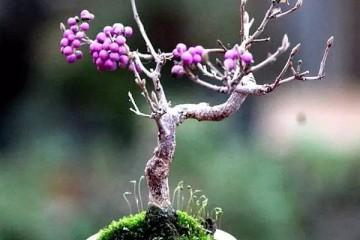 紫珠盆景的春季播种与盆景造型