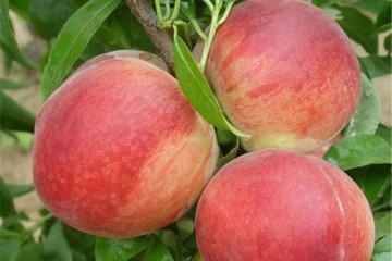 桃树盆景的土壤选择 有4点