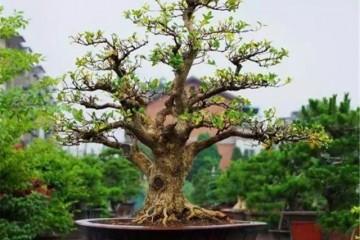 黄杨老桩盆景的制作方法 3个步骤完成