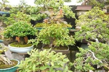 图解 三角枫盆景怎么截干蓄枝修剪造型