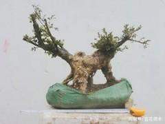 秋季下山桩怎么移栽养护 3个注意事项 图片