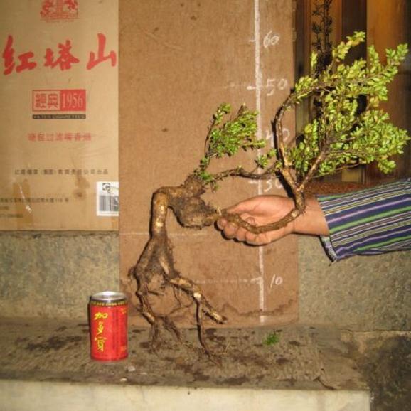 如何使用生根粉让下山桩促根?4个方法