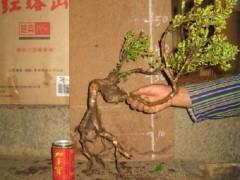 怎么使用生根粉让下山桩促根发根?4个方法
