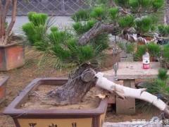 黑松下山桩怎样发芽养护 3个栽种方法