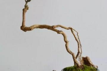 在盆景桩材的选择上 本人有以下3点看法