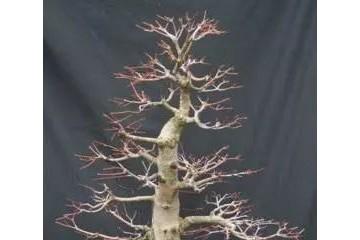 图解 枫树盆景的翻盆换土的处理技巧