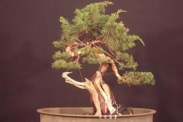 图解 柏树盆景怎么蟠扎整型的11个过程