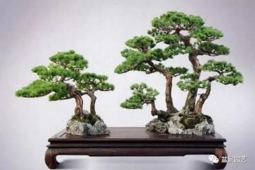 图解 如何制作单干树木盆景?