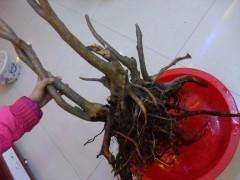 冬季下山桩怎样养护 怎么发芽 图片