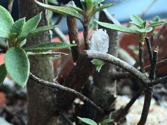 图解 本人首次栽种杜鹃下山桩的全过程
