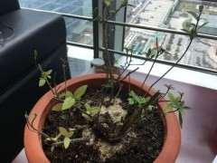 图解 本人栽种杜鹃下山桩发芽发根的全过程