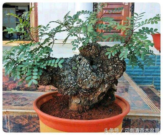 如何大幅提高清香木下山桩的栽培成活率?