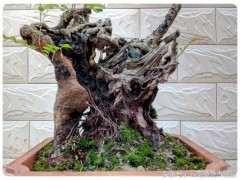 怎么大幅提高清香木下山桩的栽培成活率?