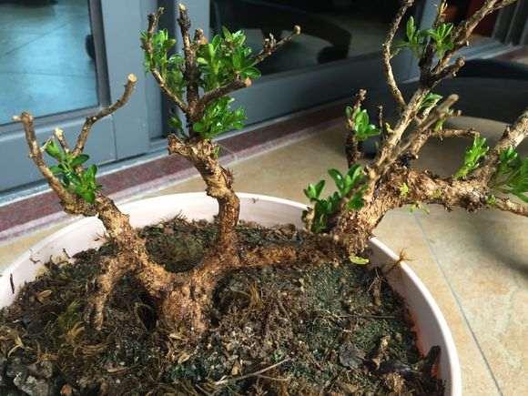4月栽的云南珍珠黄杨下山桩 9月开始发芽了