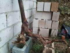 乌饭树下山桩不知如何养护 怎么生根 图片