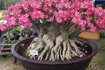 沙漠玫瑰老桩盆景一年六次花 好养容易活