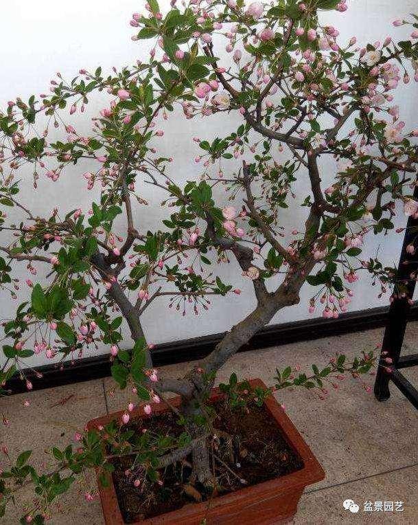 垂丝海棠盆景该如何修剪?