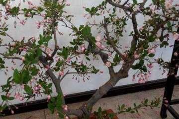 垂丝海棠盆景在萌芽时如何修剪 图片