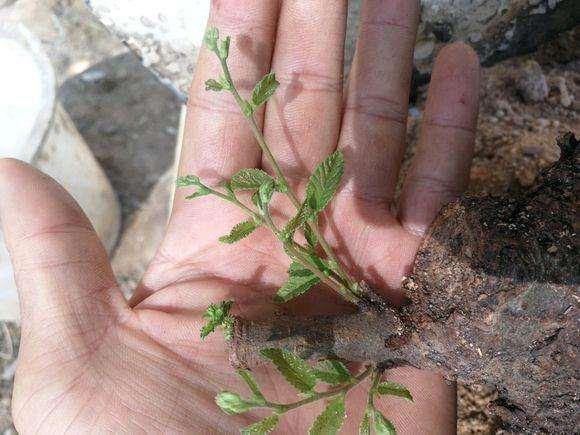 养了15天的榔榆下山桩 终于发芽了